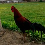 "The III International Poultry Course addresses ""rural poultry"""