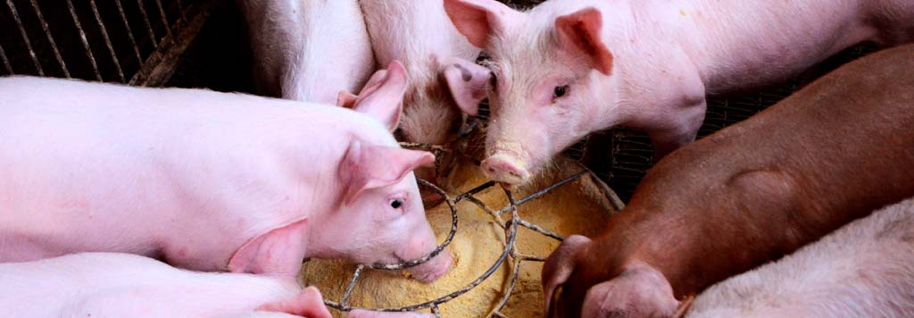 pigs under controlled feeding