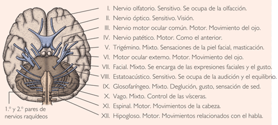 lingual nerve is a branch