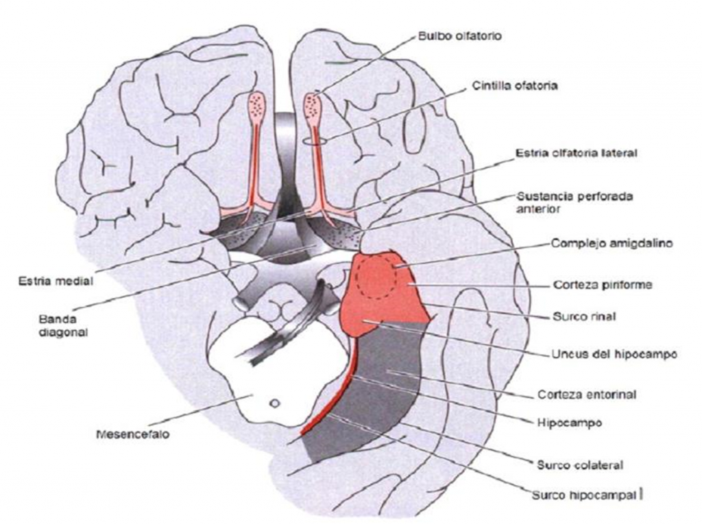 NEURON OLFACTORY CONNECTIONS