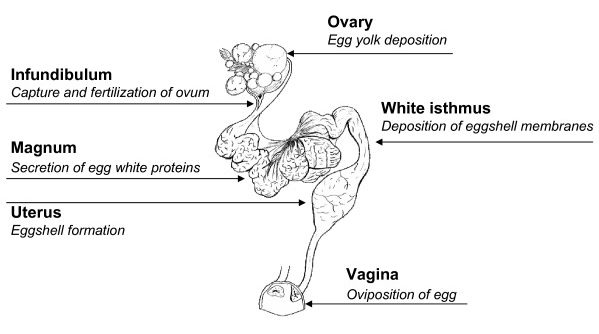 Hen reproductive system