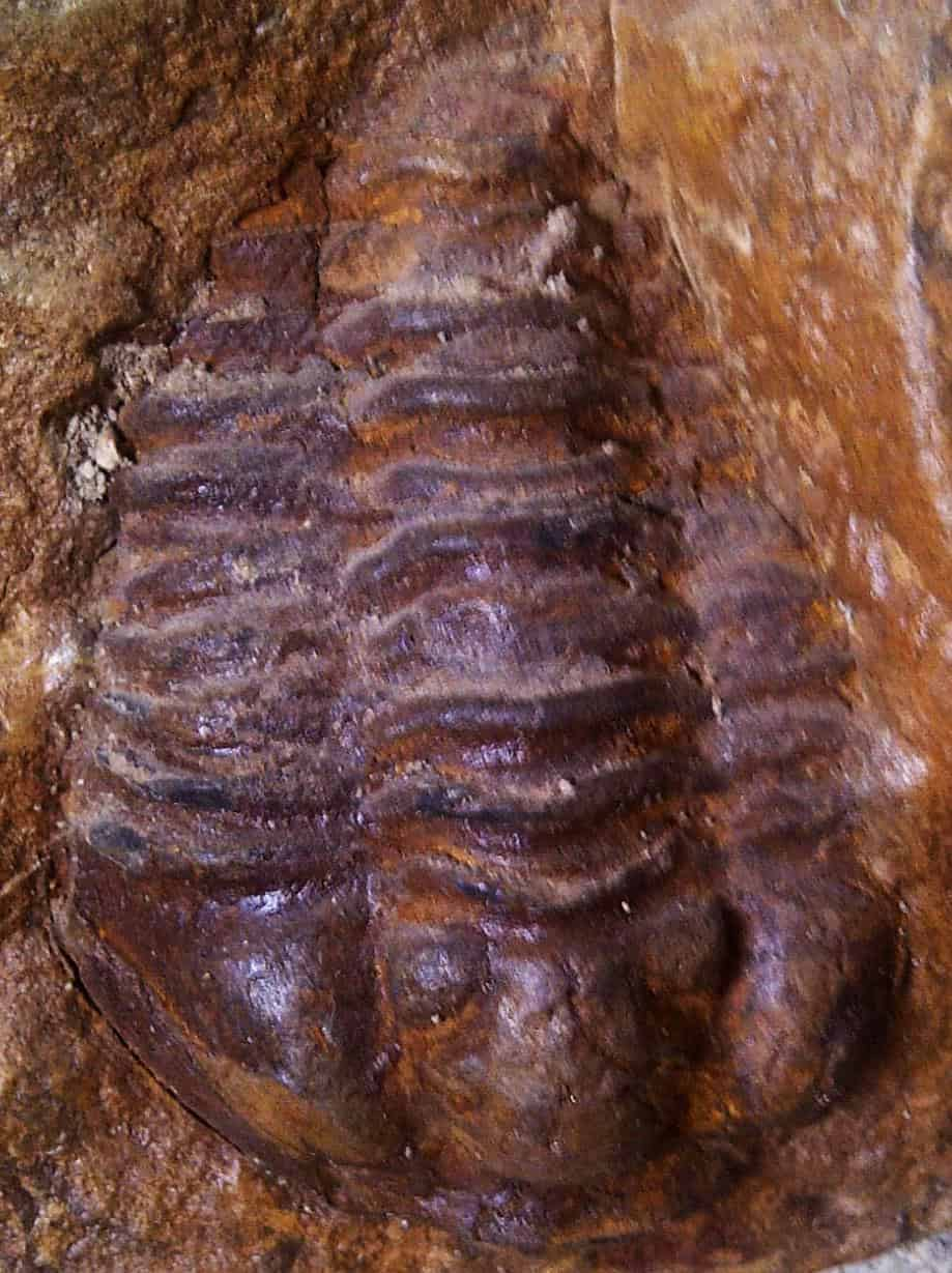 The evolution of the eye: Platynereis, trilobites, Anomalocaris and Helix. Dissemination 102nd