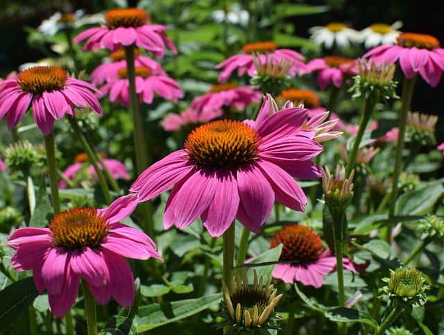 Use of Echinacea sp. in animal nutrition