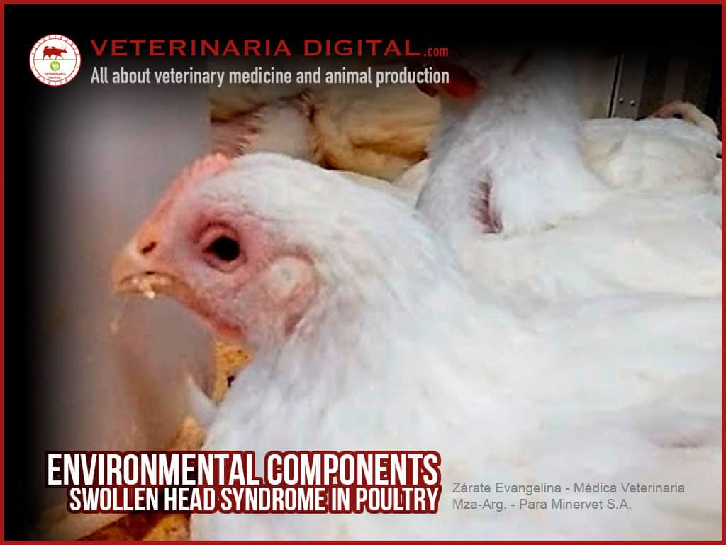 Environmental components and swollen head syndrome in poultry