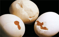 A picture of perforated and cracked eggs