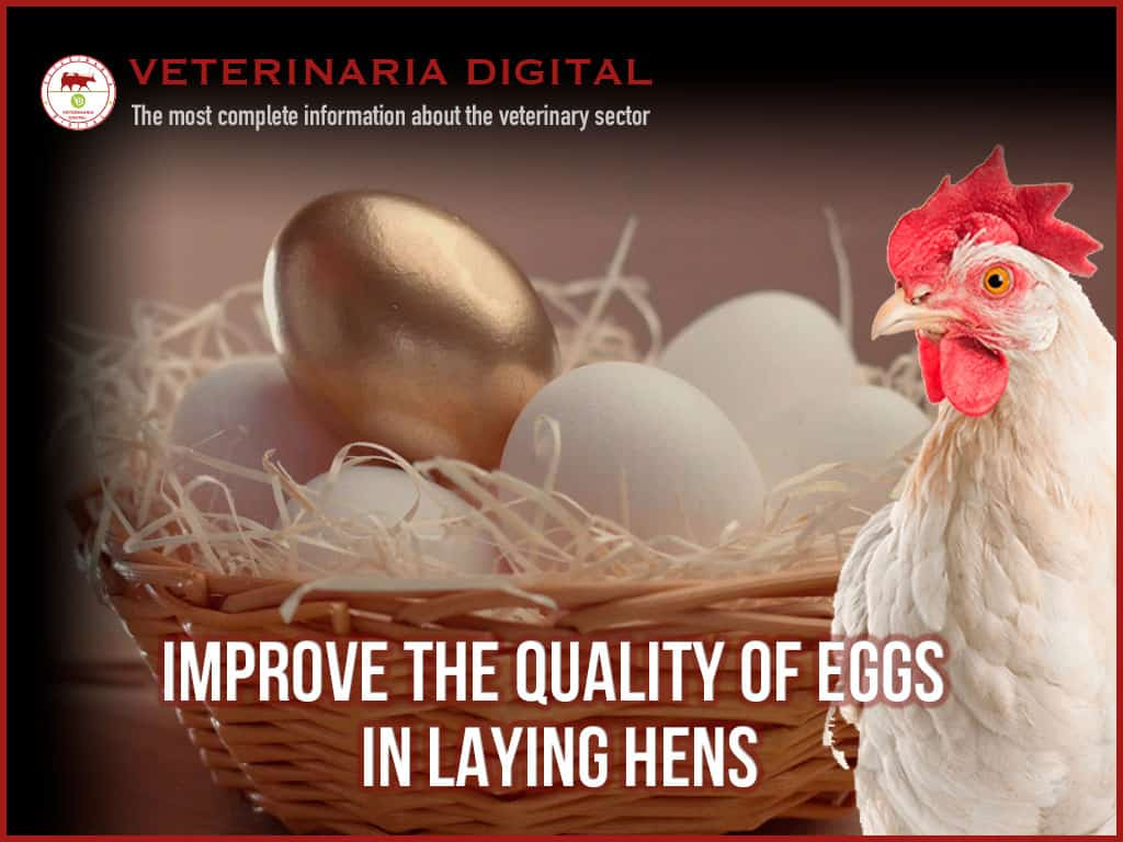Connection between intestinal health and egg quality