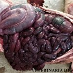 Porcine necrotic enteritis