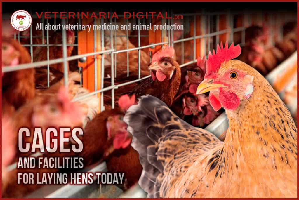 Cages for laying hens – poultry production