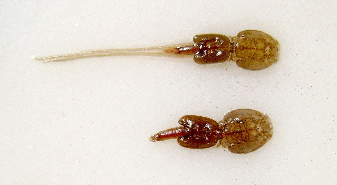 types of sea lice