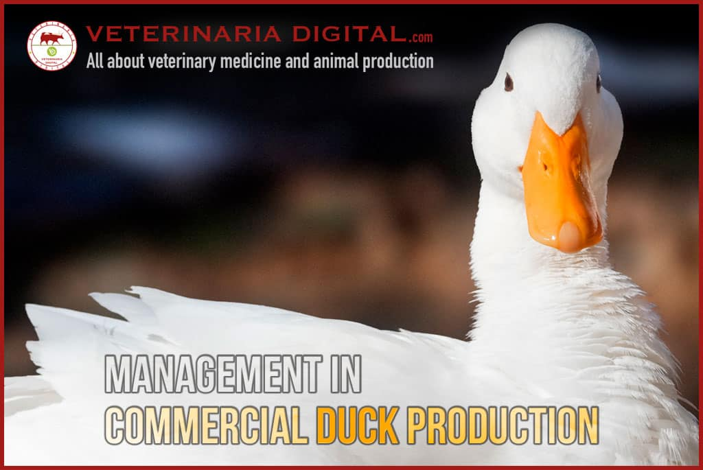 Management in commercial duck production
