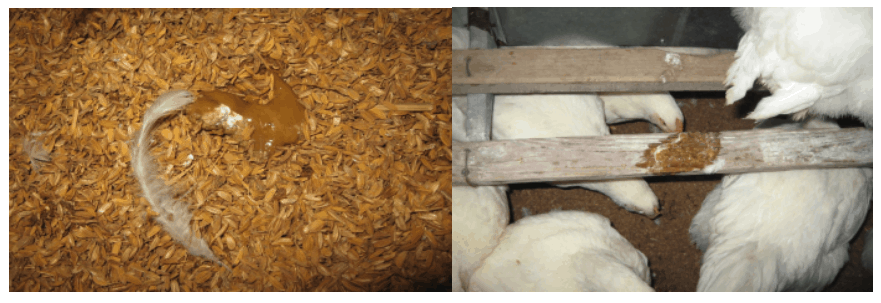 Feces consistency in a poultry farm