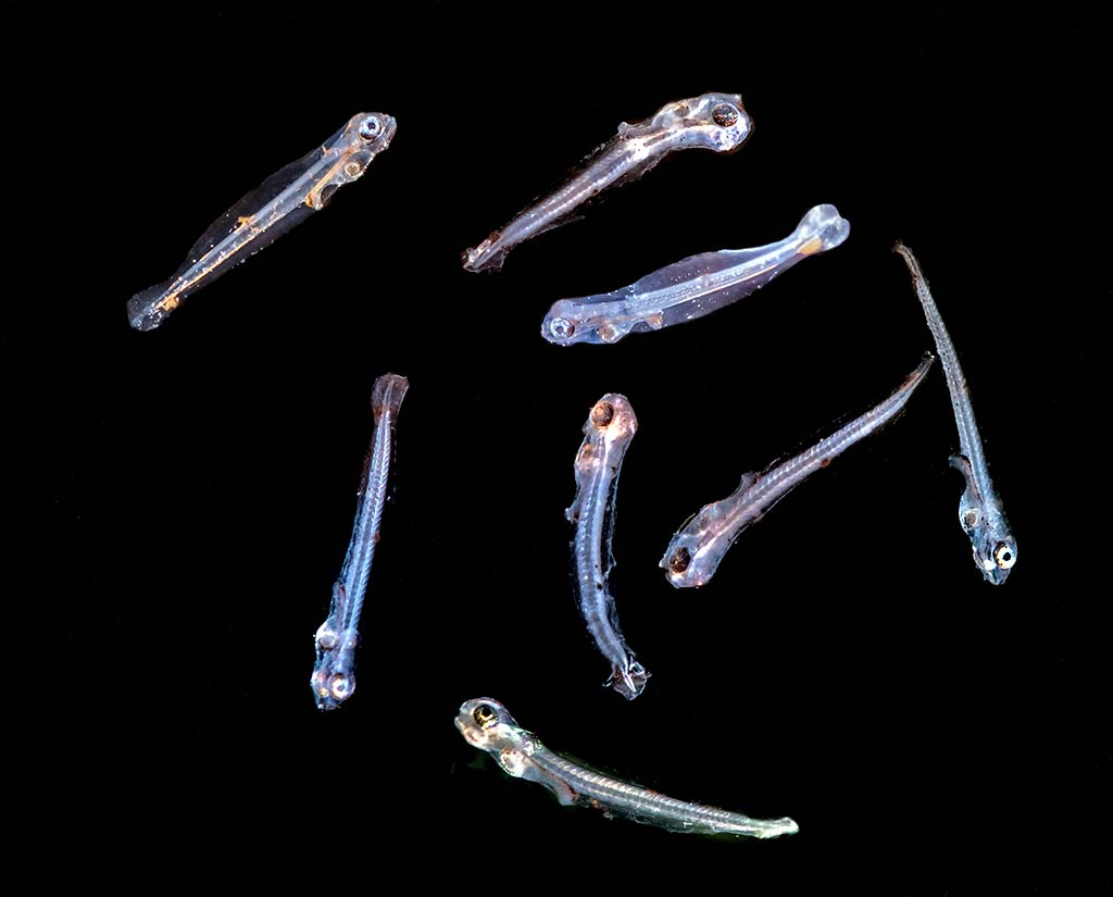 Hatched larvae with artemia