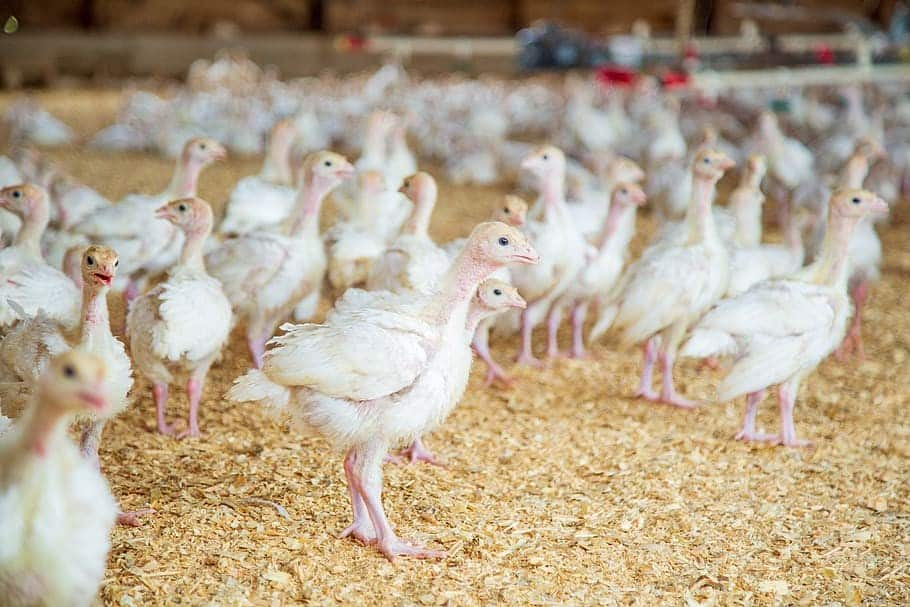 ventilation in poultry farming