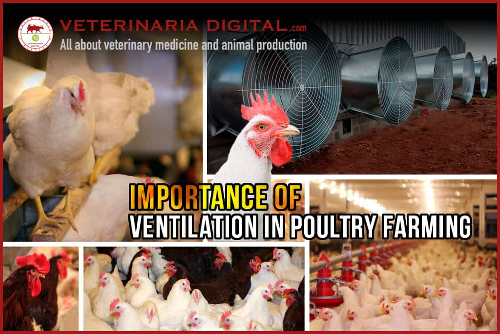 Importance of ventilation in poultry farming