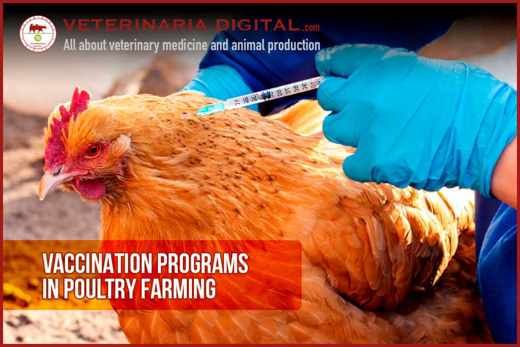 Most common vaccination programs for broilers
