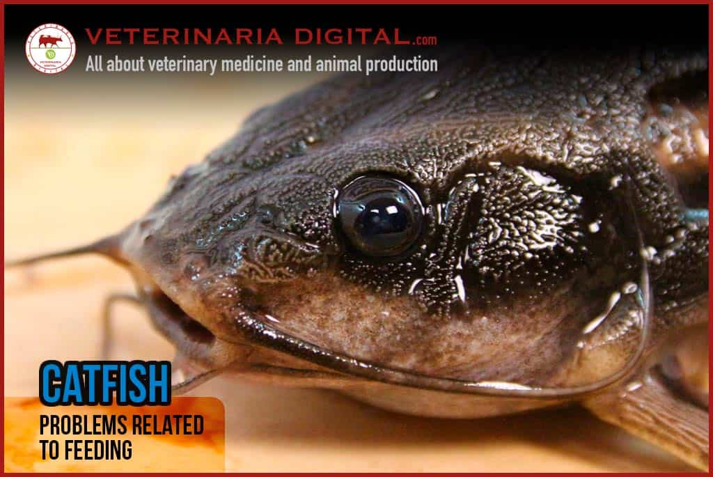 African Catfish: problems related to feeding