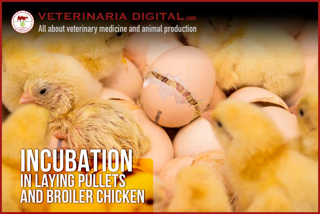 Incubation in laying pullets and broiler chicken