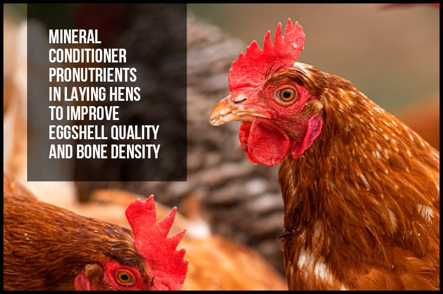 Mineral conditioner pronutrients in laying hens to improve eggshell quality and bone density