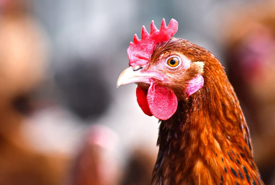 The Biovet International Symposium opened with a conference on the use of the enzymatic in poultry production