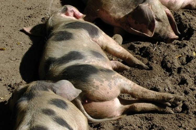 Group of pigs lying in the mud
