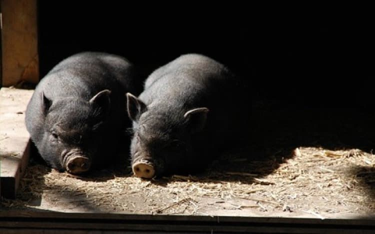 Pair of pigs in the sun