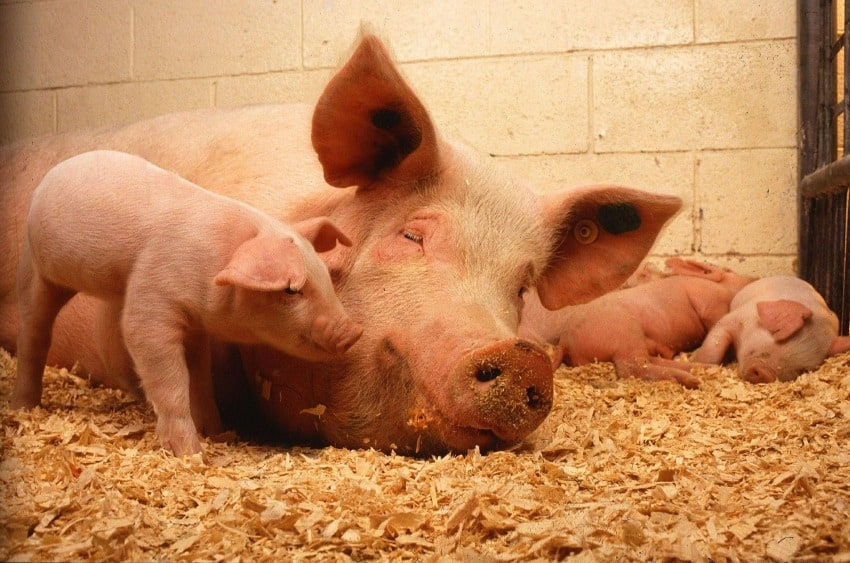 Sows are the main reservoir of Mycoplasma