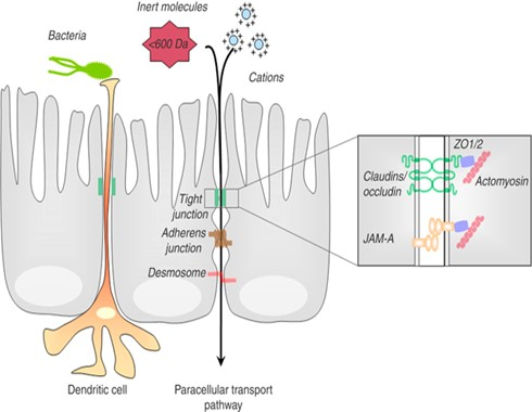 Narrow epithelial unions or tight junction