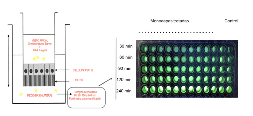 Outline of the procedure used to determine cellular permeability