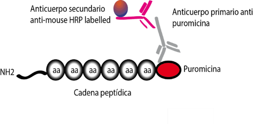 Mechanism used to quantify the translation rate of RNA-m in protein.