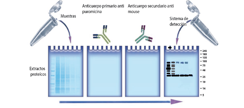 Scheme of the antibodies used during the trial