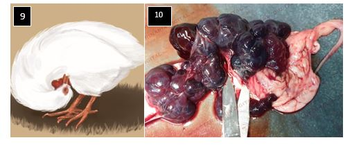 Signs and lesions caused by Newcastle disease